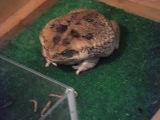 жаба ага обедает)))